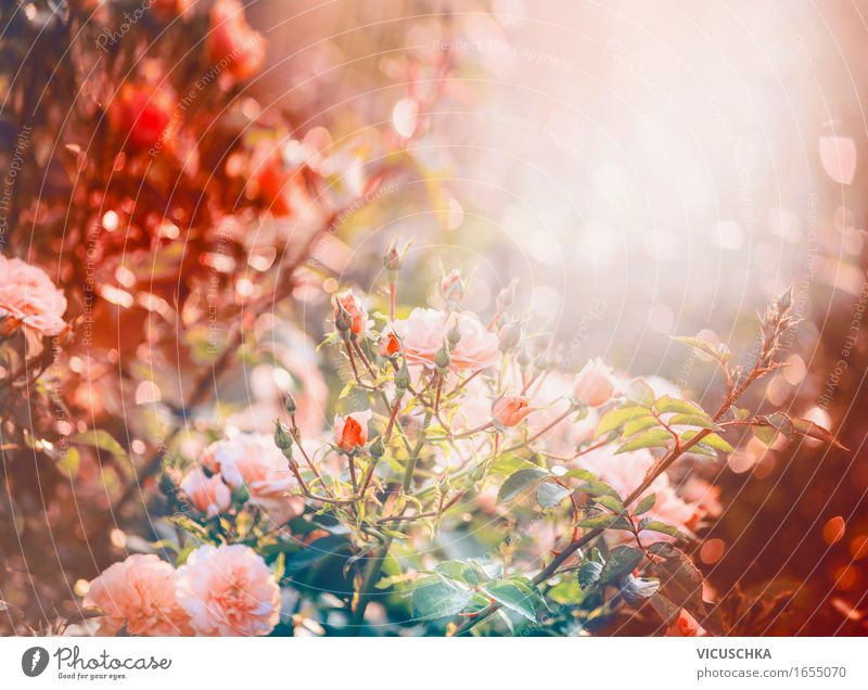Roses in the garden or park Lifestyle Design Summer Garden Nature Plant Sunrise Sunset Sunlight Autumn Beautiful weather Bushes Leaf Blossom Park Blossoming