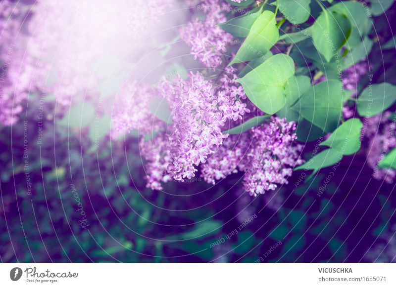Lilac in the garden Lifestyle Summer Garden Nature Plant Sunlight Beautiful weather Flower Bushes Leaf Blossom Park Blossoming Soft Design Fragrance Horizontal