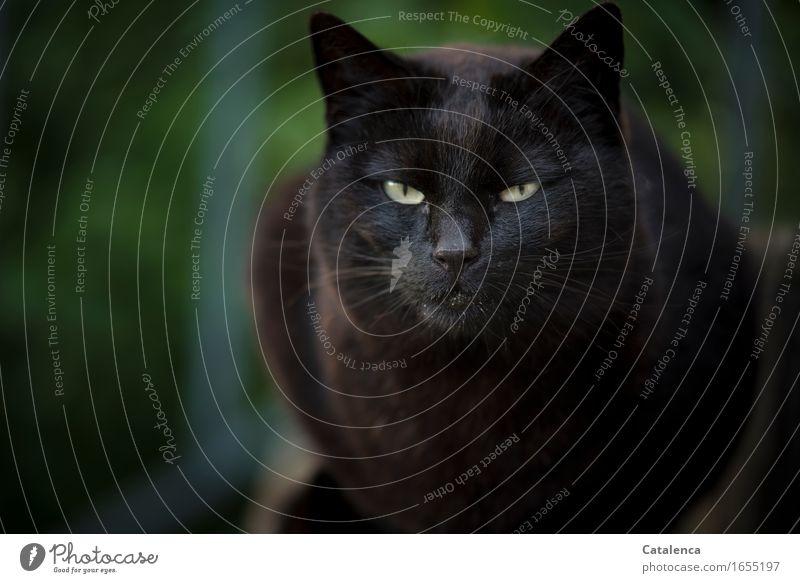 Cat Green Animal Dark Black Yellow Brown Glittering Sit Observe Pelt Pet Evil Interest Endurance Aggravation