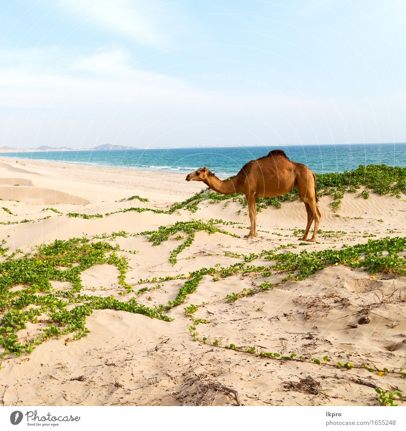 free dromedary near the sea Eating Vacation & Travel Tourism Adventure Safari Summer Beach Ocean Mouth Nature Plant Animal Sand Sky Hot Wild Brown Gray Black