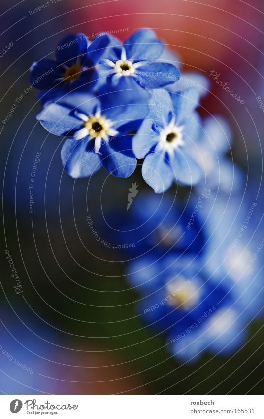 forget-me-not Colour photo Exterior shot Macro (Extreme close-up) Sunlight Blur Shallow depth of field Nature Plant Spring Flower Blossom Meadow Esthetic