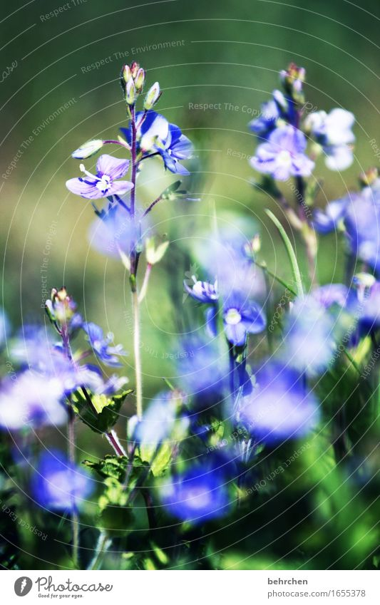 little flowers Nature Plant Summer Beautiful weather Flower Grass Leaf Blossom Veronica Garden Park Meadow Field Blossoming Fragrance Faded Growth Small