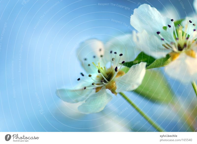 flower dream Plant Sky Spring Blossom Blossoming Fragrance Growth Blue White Romance Beautiful Beginning Pure Innocent Transience Change Cherry Cherry blossom