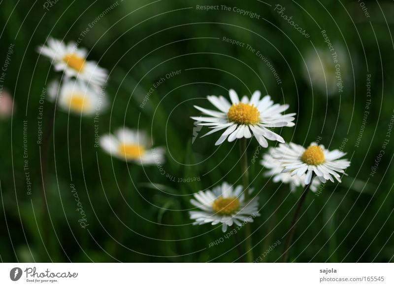 Nature White Flower Green Plant Summer Meadow Grass Spring Environment Esthetic Lawn Daisy Refreshment Flower meadow Grass meadow