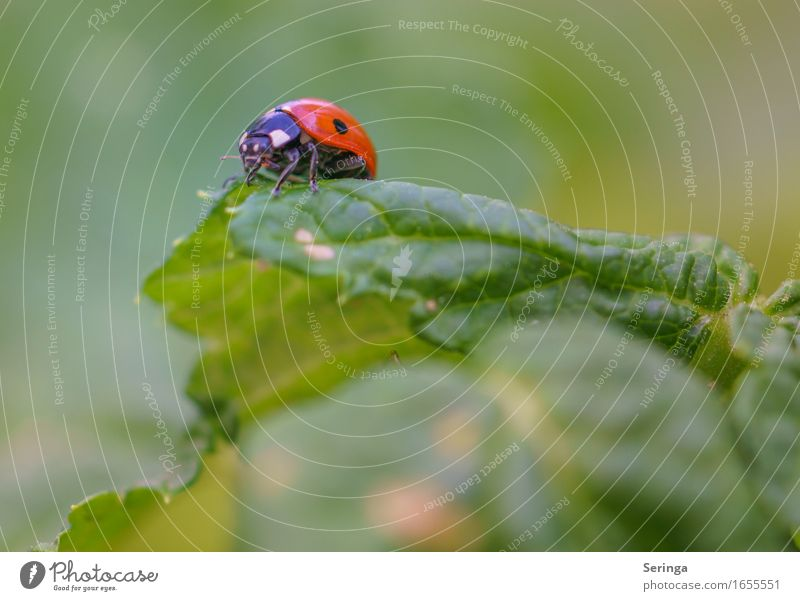 ready for take off Spring Summer Plant Leaf Animal Wild animal Beetle Animal face Wing 1 Flying Crouch Crawl Ladybird Insect Colour photo Multicoloured