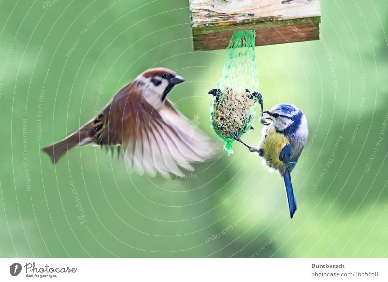 divided by 2 Animal Wild animal Bird Wing Passerine bird Sparrow Tree sparrow Feather Flying To feed Feeding Hang Authentic Together Natural Blue Brown Yellow
