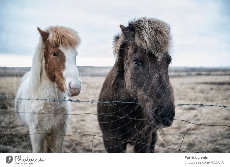 Iceland Ponies Nature Vacation & Travel Beautiful Landscape Relaxation Calm Animal Environment Life Meadow Natural Earth Horizon Wild Contentment Hair