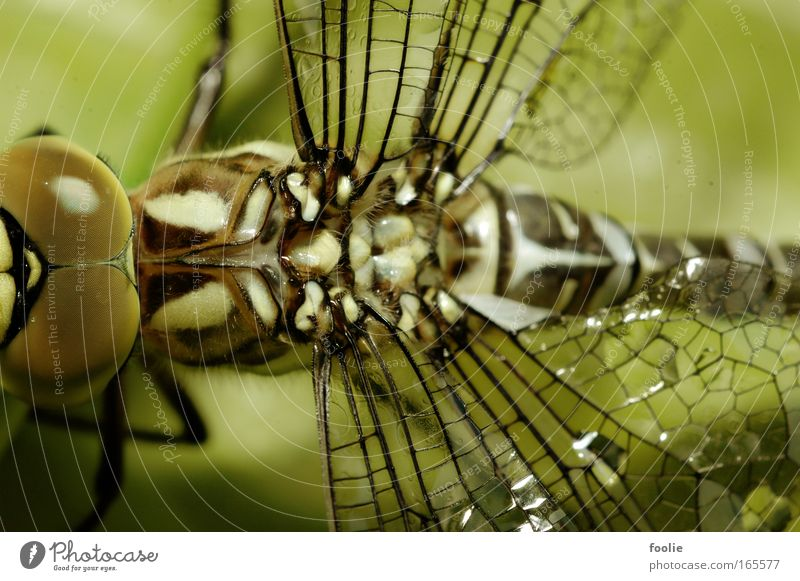 Nature Beautiful White Green Black Animal Above Large Free Dragonfly Wing Fantastic Wild animal Emperor dragonfly