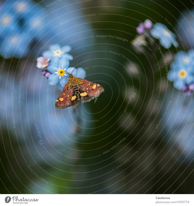 Day-active moths II Nature Summer Plant Flower Blossom Forget-me-not Garden Animal Wild animal Butterfly Insect 1 Blossoming Fragrance Flying To feed Faded
