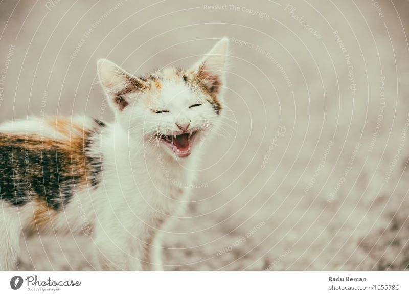 cute cat meowing with a funny laughing face a royalty free stock