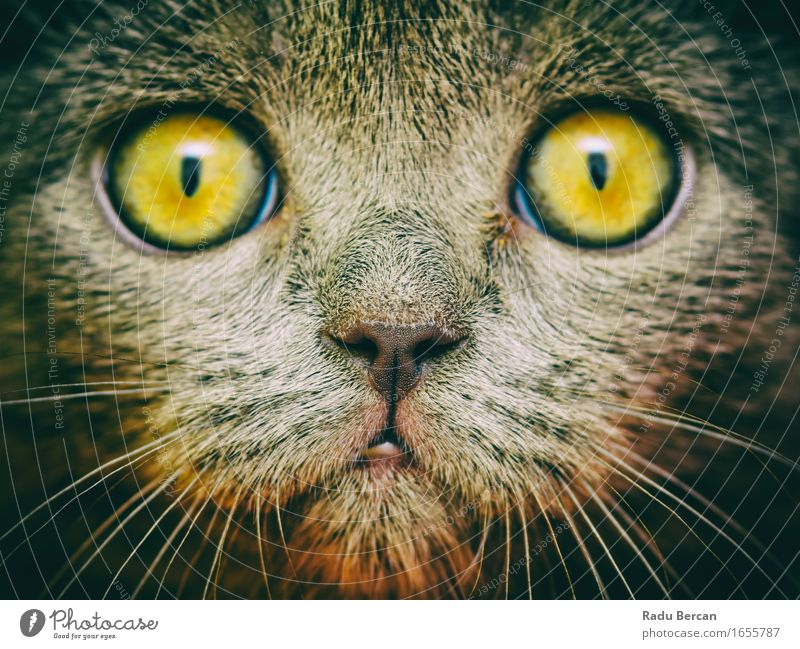 British Short Hair Cat Portrait Nature Animal Pet Wild animal Animal face 1 Observe Discover Communicate Looking Simple Friendliness Funny Near Curiosity Cute