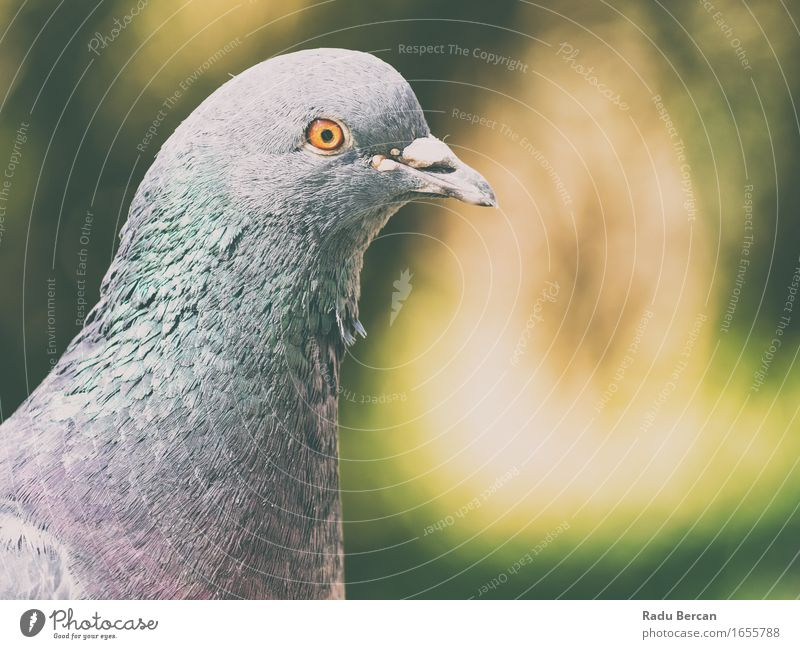 Pigeon Portrait Environment Nature Animal Wild animal Bird Animal face 1 Observe Looking Friendliness Funny Cute Blue Gray Green Orange Dove gray Feral