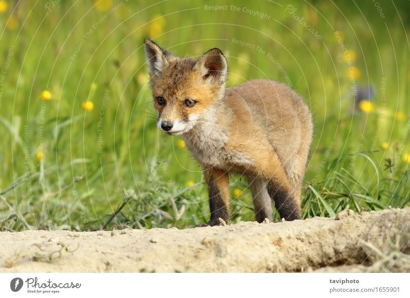 cute little fox cub Happy Face Baby Youth (Young adults) Nature Animal Grass Fur coat Dog Baby animal Small Natural Cute Wild Brown Green Red White Fox wildlife