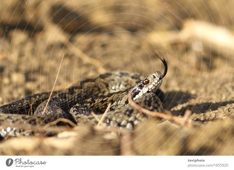 angry meadow viper Beautiful Nature Animal Meadow Snake Wild Brown Fear Dangerous Colour ursinii deadly Reptiles adder vipera venomous wildlife rare reptilian
