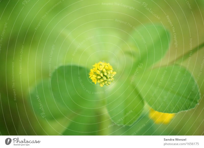 clover Plant Leaf Blossom Foliage plant Agricultural crop Wild plant Clover Cloverleaf Positive Happy Calm Contentment Bud Yellow Meadow flower Colour photo