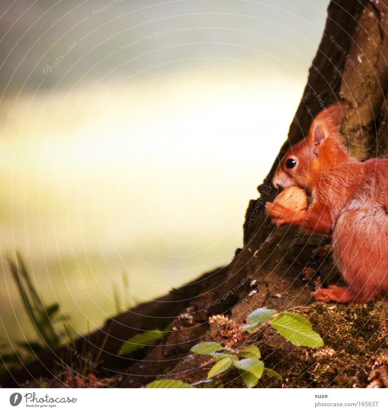 nutcrackers Environment Nature Plant Animal Spring Summer Beautiful weather Tree Meadow Wild animal Squirrel 1 Observe To feed Small Cute Red Love of animals