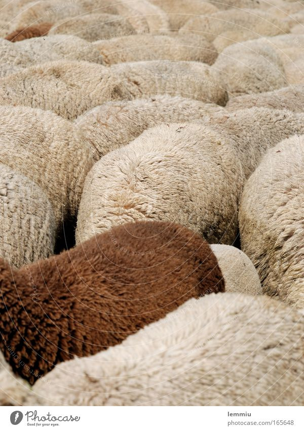 flock of sheep Colour photo Subdued colour Exterior shot Deserted Day Central perspective Animal portrait Full-length Downward Nature Farm animal Pelt