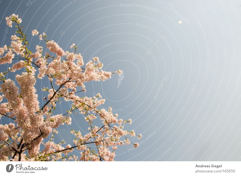 Dresden cherry blossom Colour photo Exterior shot Deserted Copy Space right Day Light Sunlight Nature Landscape Plant Sky Spring Beautiful weather Tree Blossom