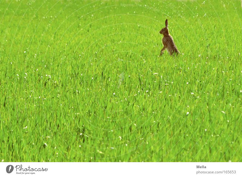 Rabbits in the lawn! Environment Nature Plant Animal Spring Agricultural crop Grain field Field Wild animal Pelt Hare & Rabbit & Bunny 1 Observe Looking Stand