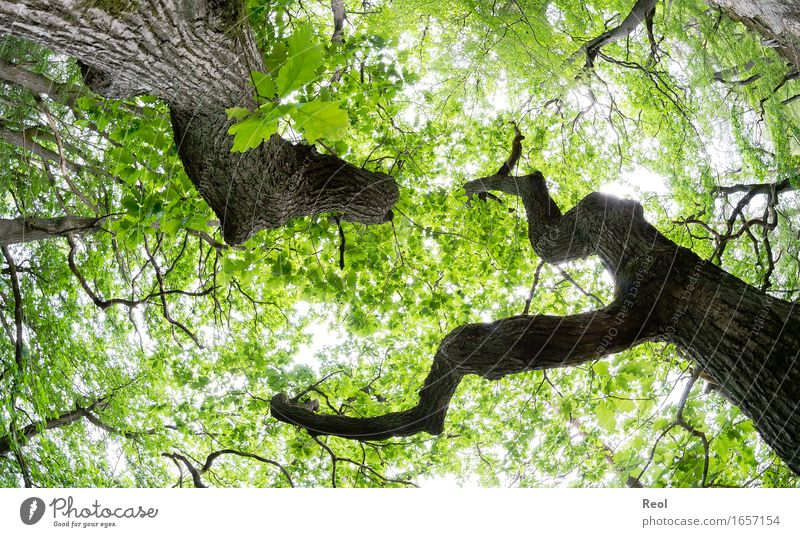 oak forest Environment Nature Landscape Plant Sky Sunlight Spring Summer Beautiful weather Oak tree Oak forest Tree trunk Leaf canopy Twigs and branches Branch