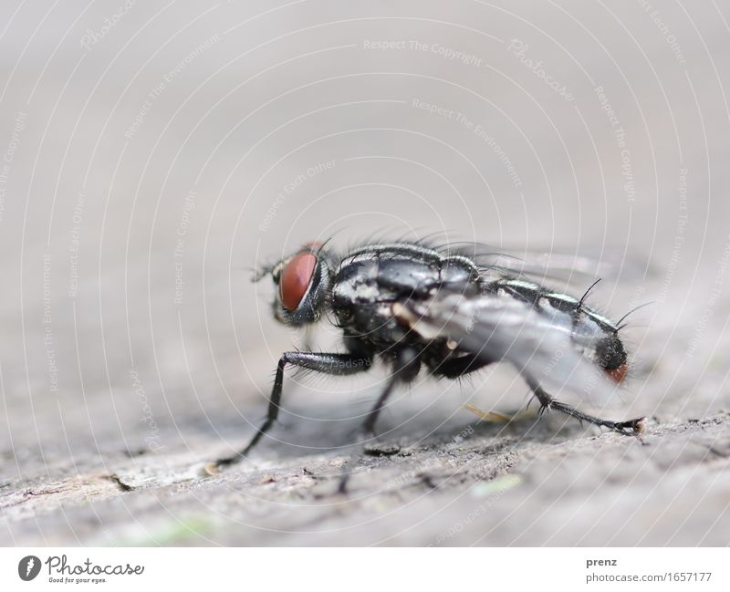Fly on wood Environment Nature Animal Spring Summer Wild animal 1 Sit Gray Insect Compound eye Wood Colour photo Exterior shot Close-up Macro (Extreme close-up)
