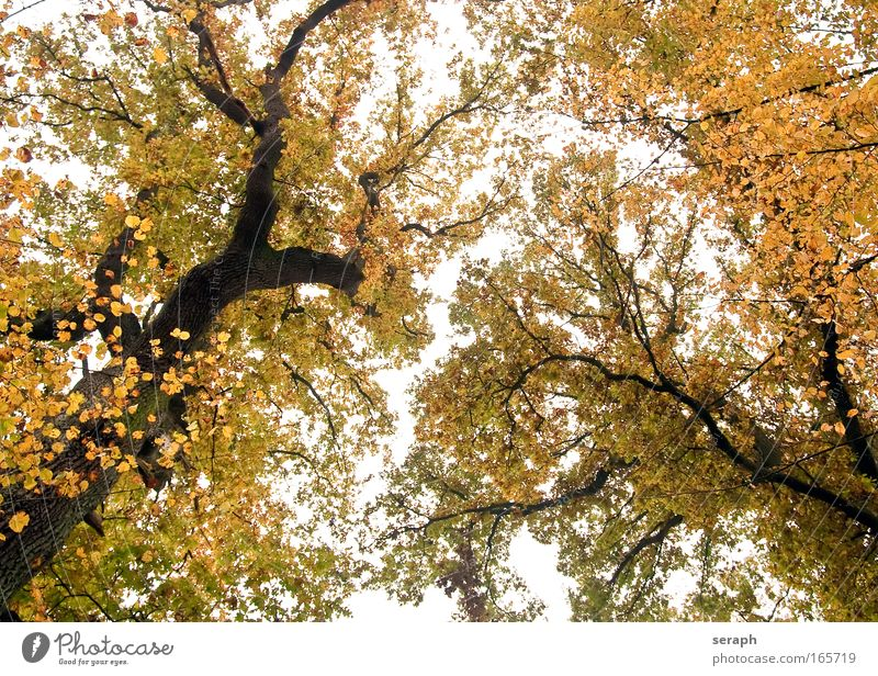 Ancient Treetops Old Leaf Forest Autumn Wood Growth Branch Idyll Autumn leaves Fairy tale Fantasy Verdant Crust Branched