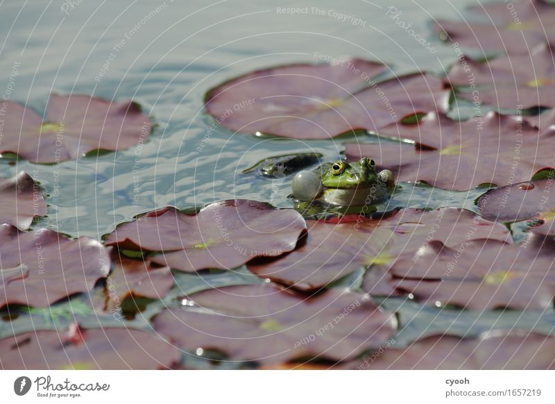 frog luck Nature Water Summer Park Pond Rutting season Observe Brash Free Happiness Near Wet Gold Green Serene Idyll Contentment Quack Frog Water lily leaf
