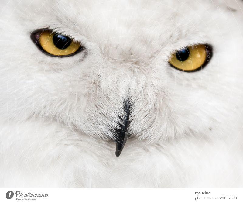 Close-up of snowy owl Face Snow Bird Yellow White Owl Bubo Strigidae eyes orange muzzle Wild animal Portrait photograph