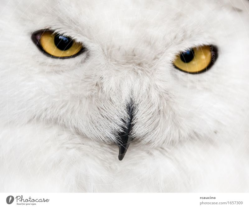 close up of snowy owl a royalty free stock photo from photocase