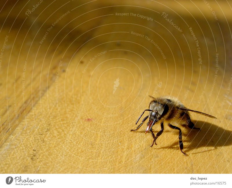 Nature Wood Bright Perspective Wing Insect Bee Bee-keeper Maja