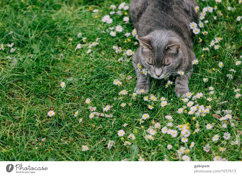 Cat in Happiness Nature Spring Summer Beautiful weather Plant Flower Daisy Meadow Animal Pet 1 Breathe Blossoming Relaxation Lie Natural Cute Positive Gray