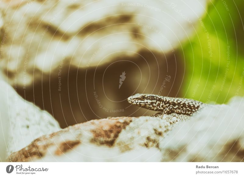 Small Rock Lizard Nature Animal Wild animal Animal face 1 Discover Near Brown Gray Green Reptiles Lizards Gecko Wilderness Colour photo Subdued colour