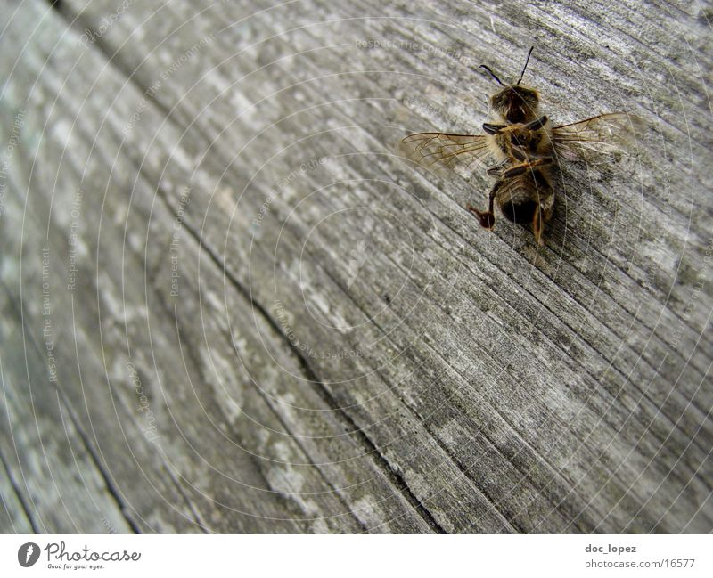 the_small_maja Bee Maja Wood Wooden floor Insect Death Detail Perspective far down