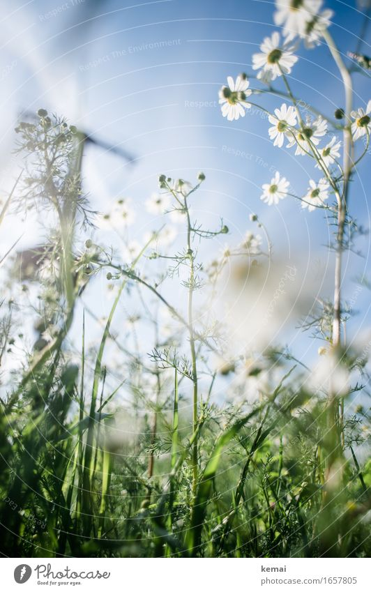 AST9 | Break in the meadow Environment Nature Plant Cloudless sky Sunlight Summer Beautiful weather Warmth Flower Grass Blossom Foliage plant Meadow Blossoming