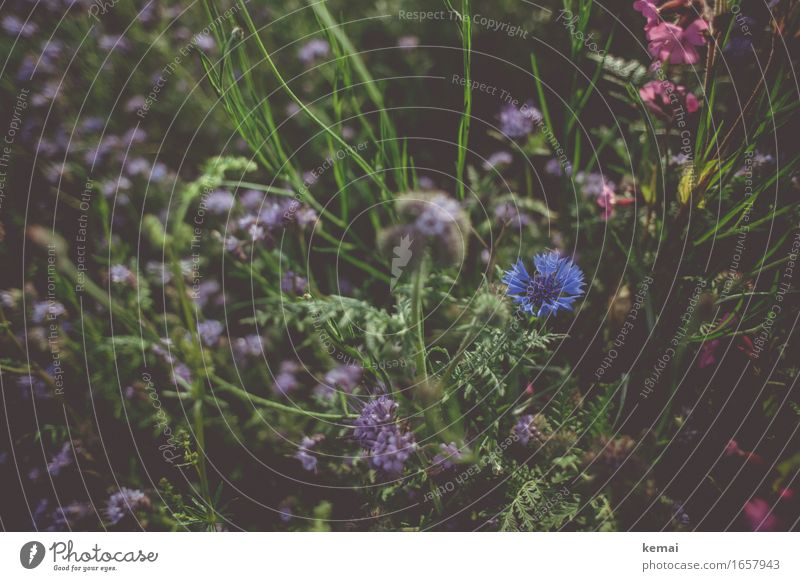 AST9 | flower meadow Environment Nature Summer Beautiful weather Plant Flower Bushes Foliage plant Cornflower Meadow flower Blossoming Growth Esthetic Fragrance