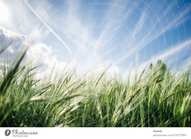 AST9 | Summer field Environment Nature Plant Sky Clouds Sunlight Beautiful weather Warmth Agricultural crop Barley Barleyfield Barley ear Cornfield Grain
