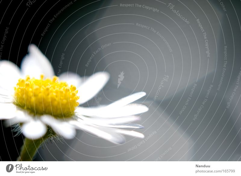 A flower lily Environment Nature Plant Flower Blossom Daisy Esthetic Beautiful Small Positive Clean Yellow Gray White Ease Transience Lens flare Blur Blossoming