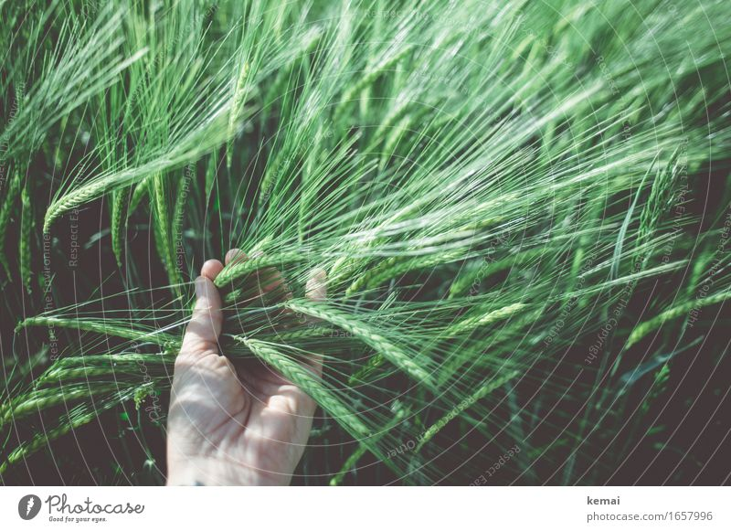 AST9 | Feels good to the touch Human being Life Hand 1 Environment Nature Plant Sunlight Summer Beautiful weather Agricultural crop Barley Barleyfield Cornfield