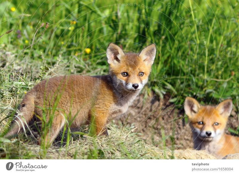 curious fox cub looking at the camera Dog Nature Green Beautiful Summer Colour Red Animal Forest Baby animal Natural Grass Small Brown Wild Wild animal