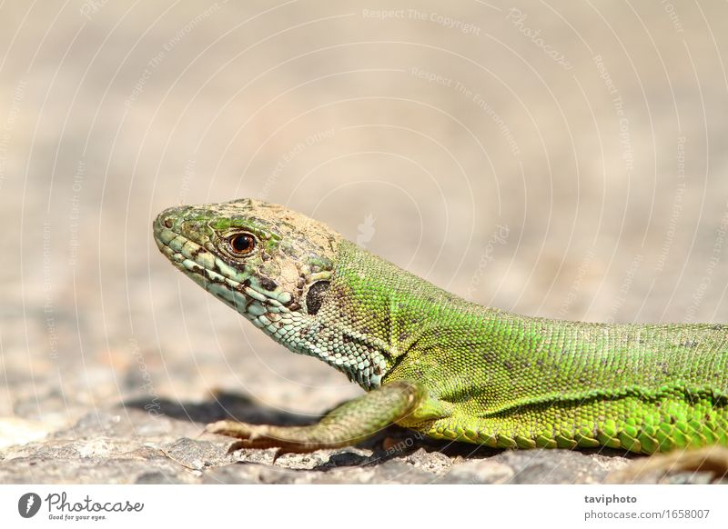 the green lizard Beautiful Face Sunbathing Nature Animal Grass Wild Yellow Green Colour Reptiles wildlife lacerta viridis European Living thing