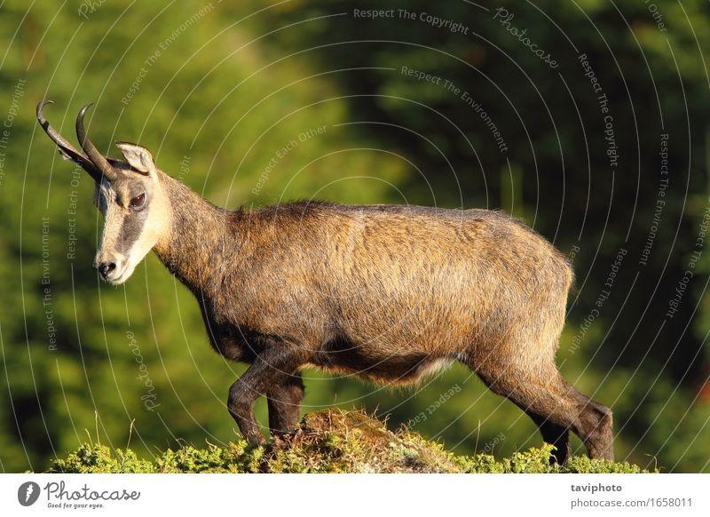 Rupicapra rupicapra carpatica Beautiful Hunting Summer Mountain Climbing Mountaineering Nature Landscape Animal Park Natural Wild Brown Chamois Goats wildlife