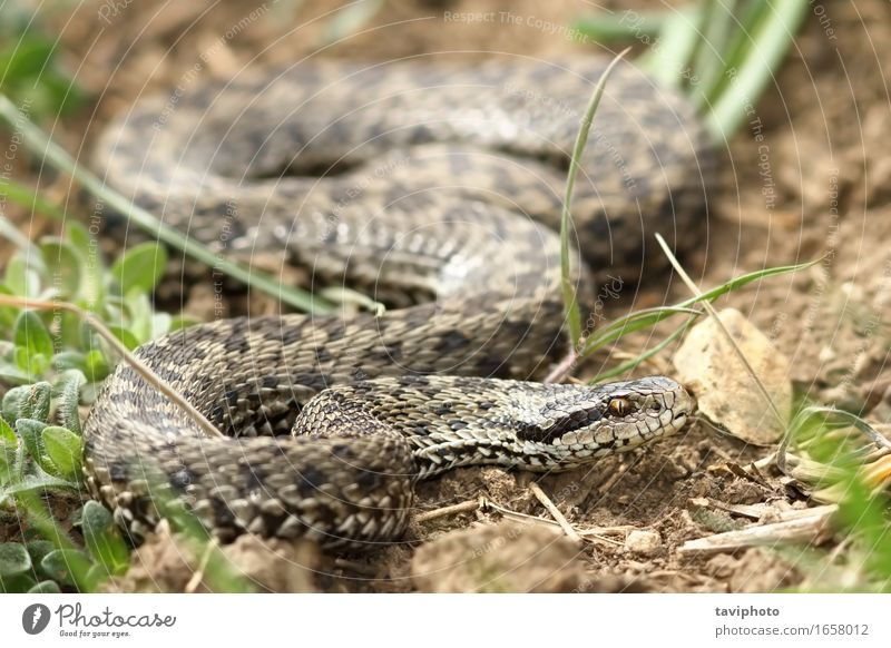 female meadow viper in natural habitat Woman Nature Beautiful Animal Adults Meadow Brown Wild Fear Europe Dangerous Uniqueness Photography Ground Living thing