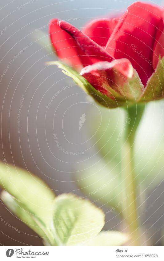 AST 9 | Roof terrace florets Plant Flower Leaf Blossom Pot plant Rose Blossoming Beautiful Small Red Nature Colour photo Exterior shot Deserted Copy Space left