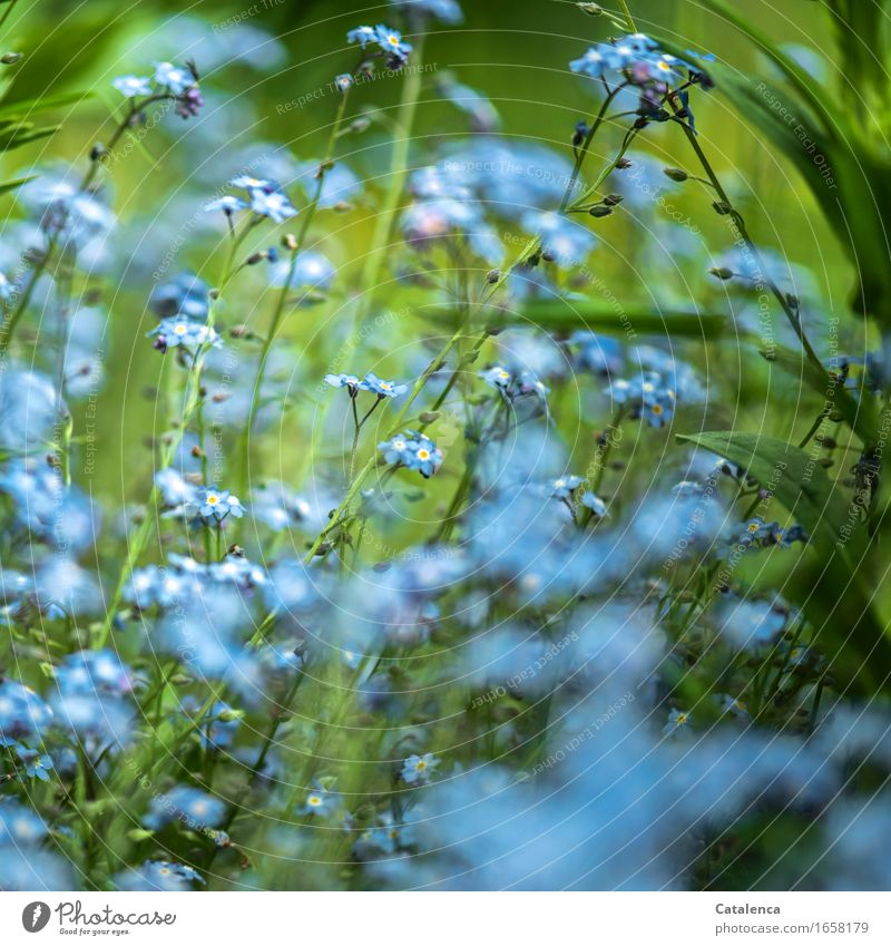 Blue miracle Nature Plant Flower Leaf Blossom Forget-me-not Garden Blossoming Faded Growth Esthetic Fragrance Beautiful Green Turquoise Moody fears of loss