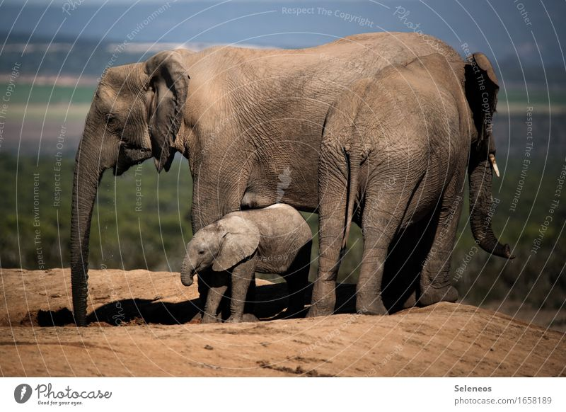 family trip Vacation & Travel Tourism Trip Adventure Far-off places Freedom Safari Expedition Environment Nature Summer Savannah Animal Wild animal Elephant