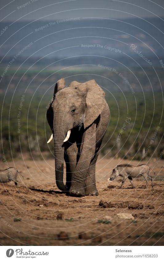 Little Giant Vacation & Travel Tourism Trip Adventure Far-off places Freedom Safari Summer Summer vacation Sun Environment Nature Animal Wild animal Elephant