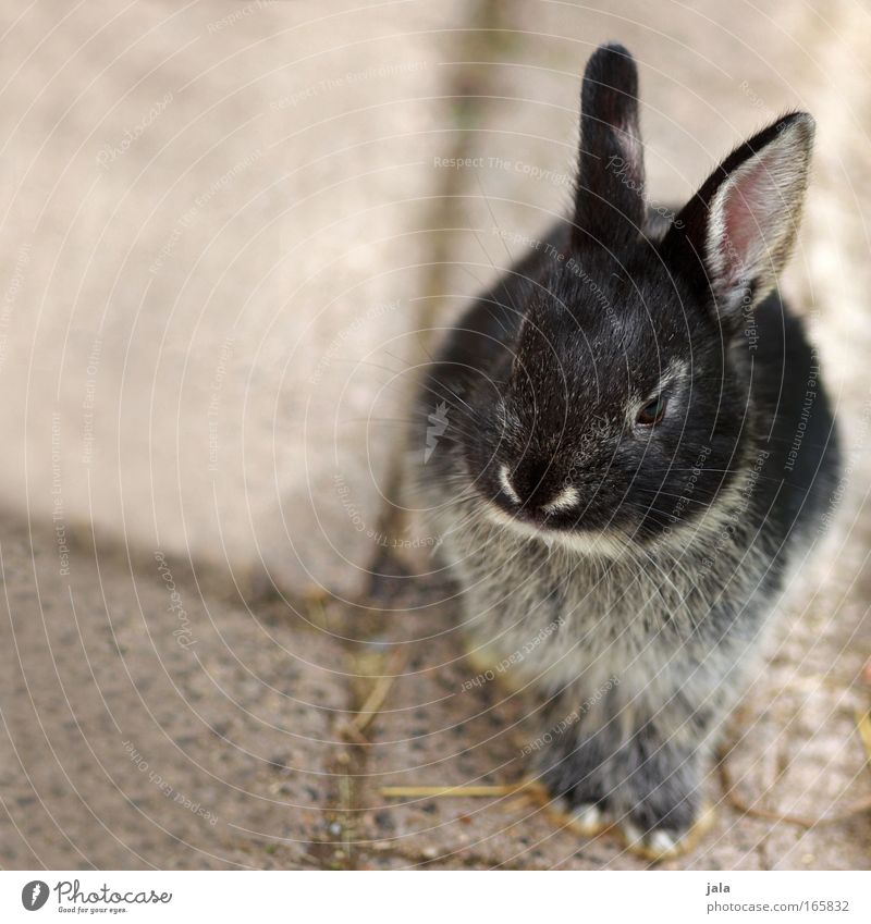 Hanni Bunny Animal Pelt Paw Zoo Petting zoo 1 Looking Sit Hare & Rabbit & Bunny Sweet Colour photo Exterior shot Deserted Copy Space left Day Animal portrait