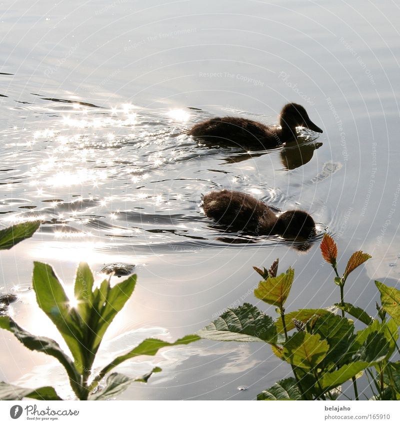 Nature Water Green Animal Relaxation Small Spring Baby animal Together Swimming & Bathing Wild animal Cute Group of animals Idyll Float in the water Harmonious