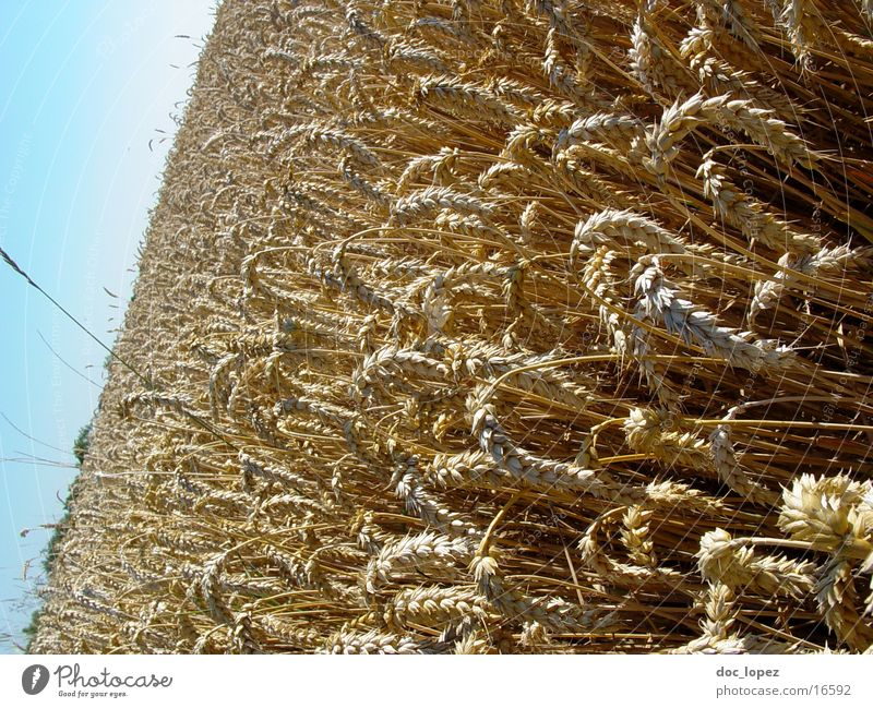Sky Blue Yellow Landscape Field Perspective Vantage point Grain Agriculture Deep Cornfield Wheat Ear of corn