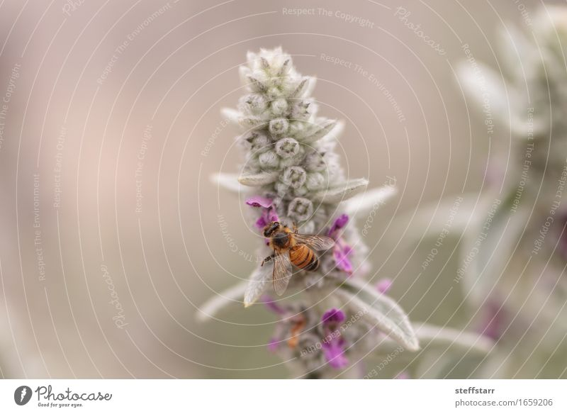 Honeybee, Hylaeus, gathers pollen Nature Plant Animal Spring Flower Blossom Bee Wing 1 Brown Yellow Gold Green Violet Pink Black Colour photo Multicoloured
